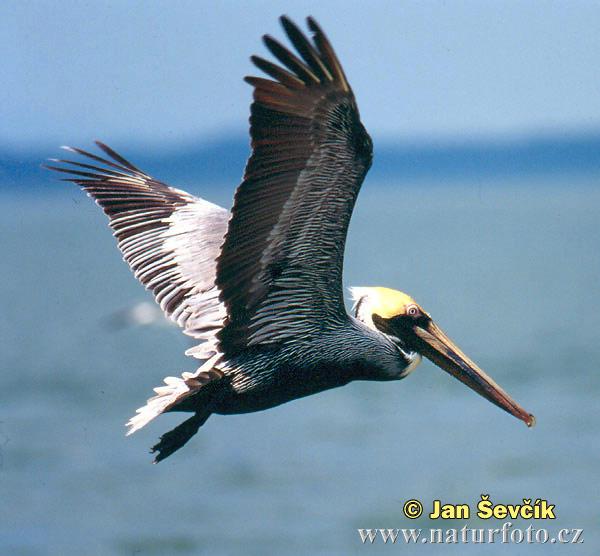brown-pelican--pelecanus-ocidentalis